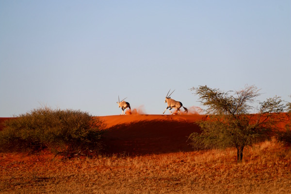 Oryx Desierto Kalahari