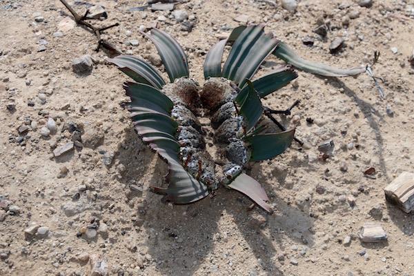 welwitschia mirabilis.