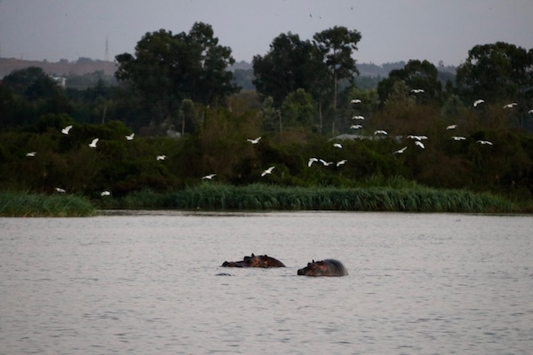 hipopótamos lago Tana