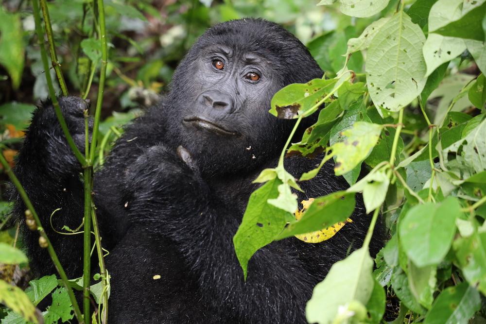 Gorila en el Parque Nacional de la Selva Impenetrable de Bwindi