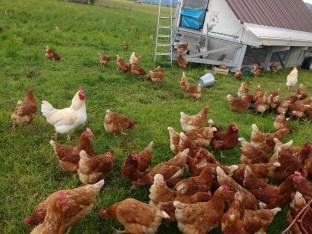 Die Hühner und ihre Gockel am Hühnermobil