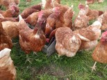 Schlehdorf: Glückliche Hühner