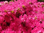 Ein Mini-Rhododendron