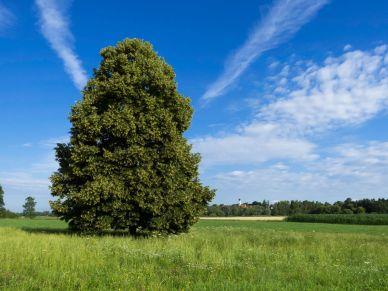 Baum im Thalhammer Moos mit Blick auf Walkersaich