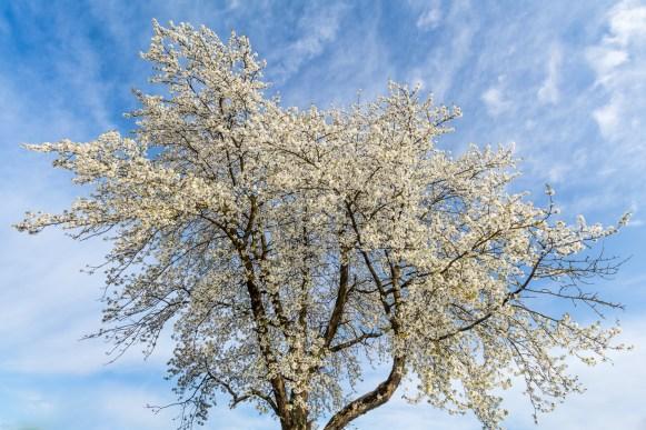 Baum Blüte