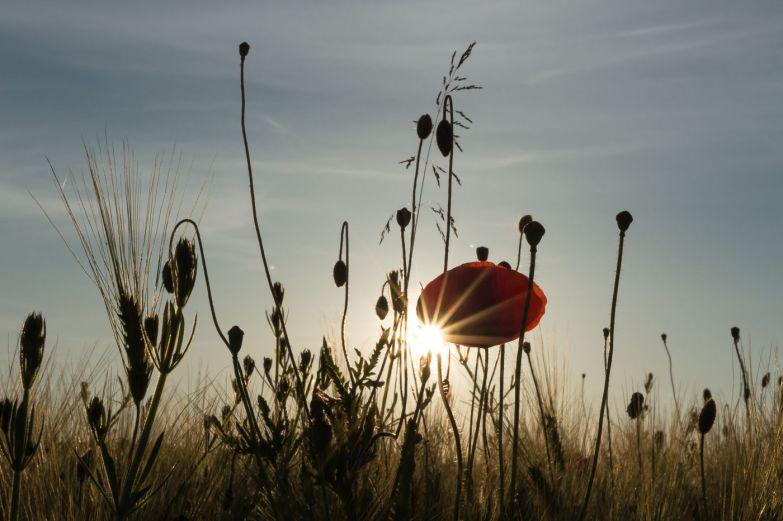 Mohnblume im Sonnenuntergang