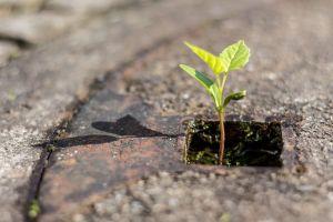 Pflanze im Gullideckel