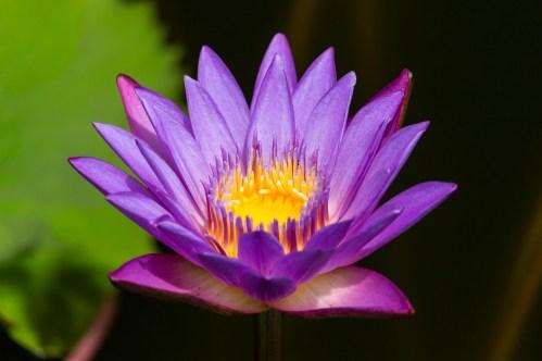 Sri Lankas Nationalblume