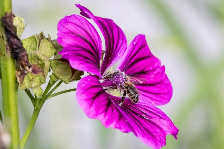 Flower in Magenta with Bee
