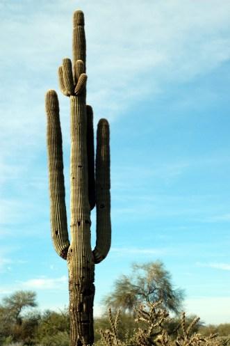 Tall saguaro cactus and blue sky Cave Creek, AZ