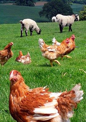 Free range hens and pastured sheep
