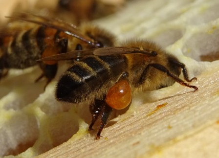 honey bees make propolis which has anti-fungal actions