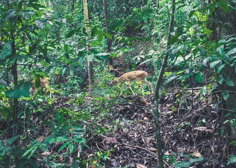 Things to do near Manuel Antonio, Costa Rica. Deer in Manuel Antonio National Park Costa Rica.
