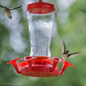 Hummingbirds-10