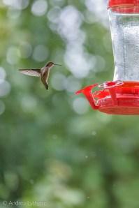Hummingbirds-7
