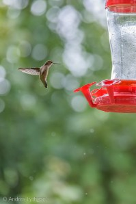 Hummingbirds-7