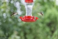 Hummingbirds-8