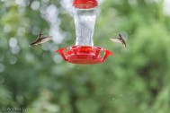Hummingbirds-8