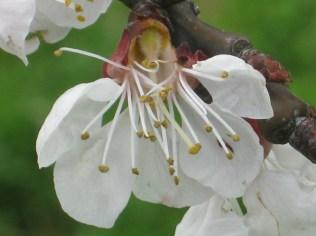 fiore-di-albicocca-6