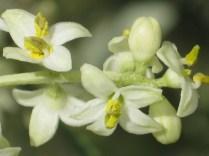 fiore-di-ulivo