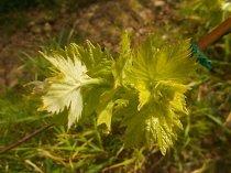 foglie-di-sangiovese-neonato-14
