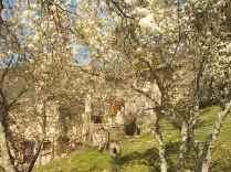 susino in fiore (3)