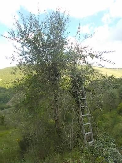 potatura oliveta di vertine