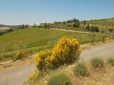 vertine ginestre oliveta cappella (7)