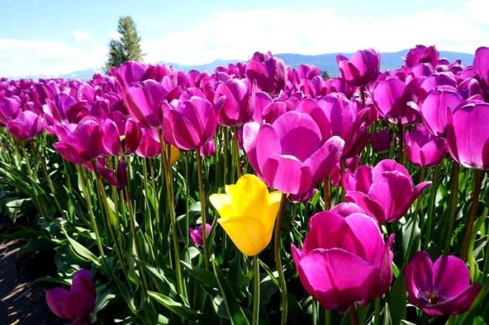 Beautiful purple tulips at the Chilliwack Tulip Festival near Vancouver, B.C.