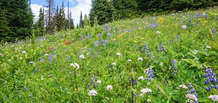 Sun Peaks, Kamloops wildflower hike
