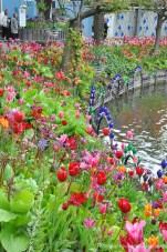 Tivoli Tulips