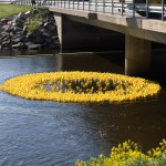 An expanding circle of yellow, you can hardly tell that they are rubber ducks.