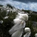 I stumbled upon a fleck of wooly flowers, I think they are flowers...