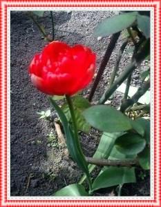 Tulpen10
