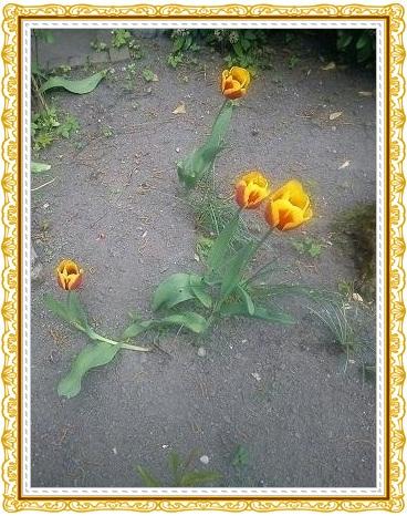Tulpen22