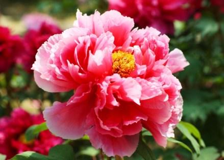 PFINGST--ROSE6