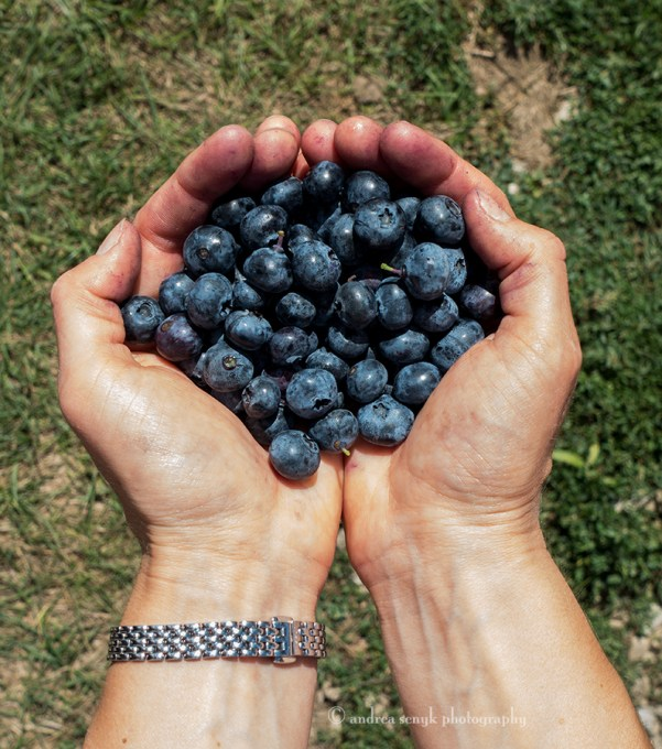 blueberry-picking