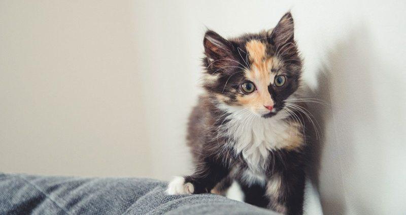 Lady Marley Monroe kitten cat