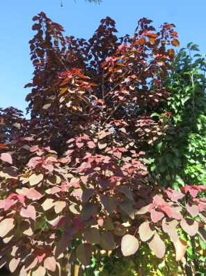 Cotinus...hard to believe it was a tiny sapling only 3 years ago