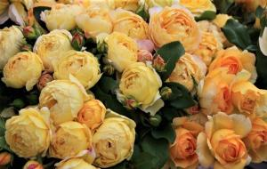 Famous Roses
