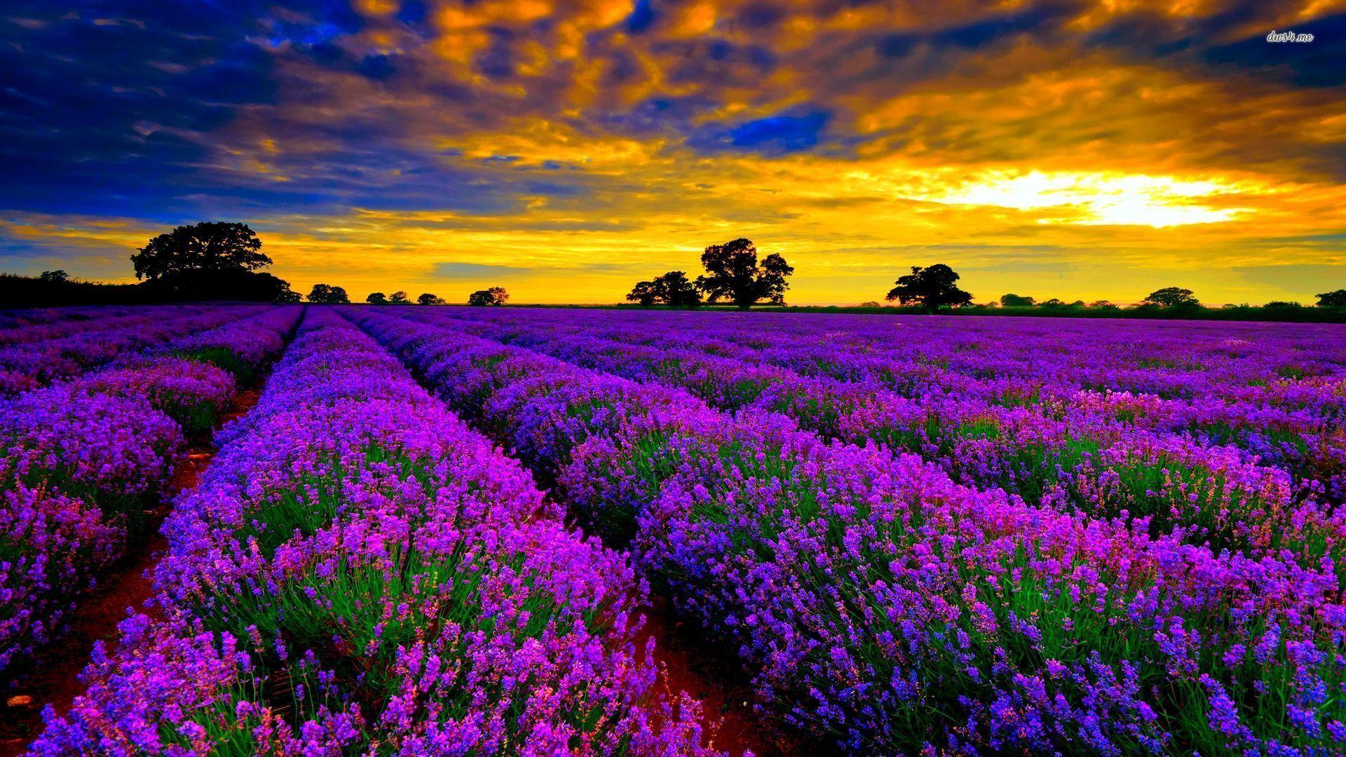 42603-lavender-field-at-sunset-1920x1080-flower-wallpaper