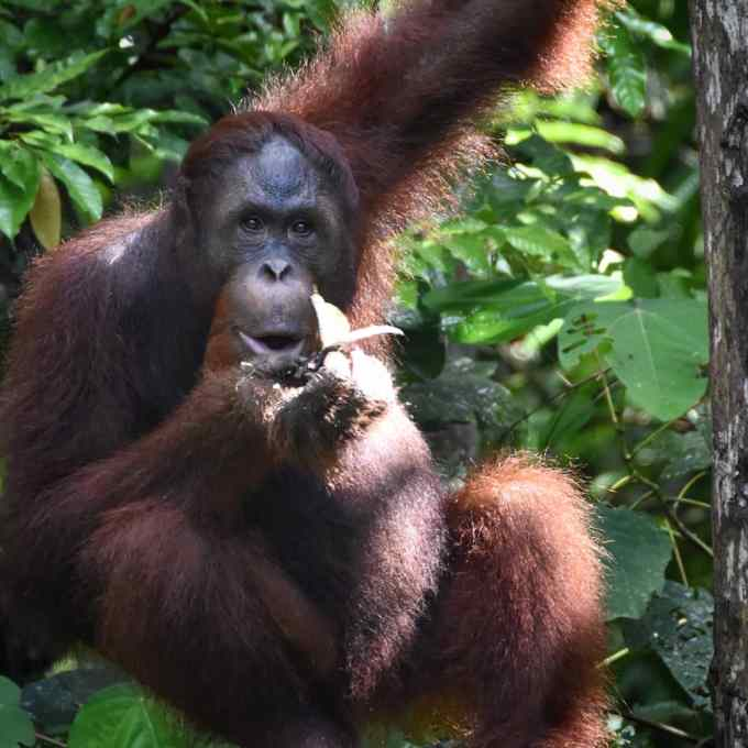 orangutan, Semenggoh, Kuching, Sarawak, Malaysia, Borneo