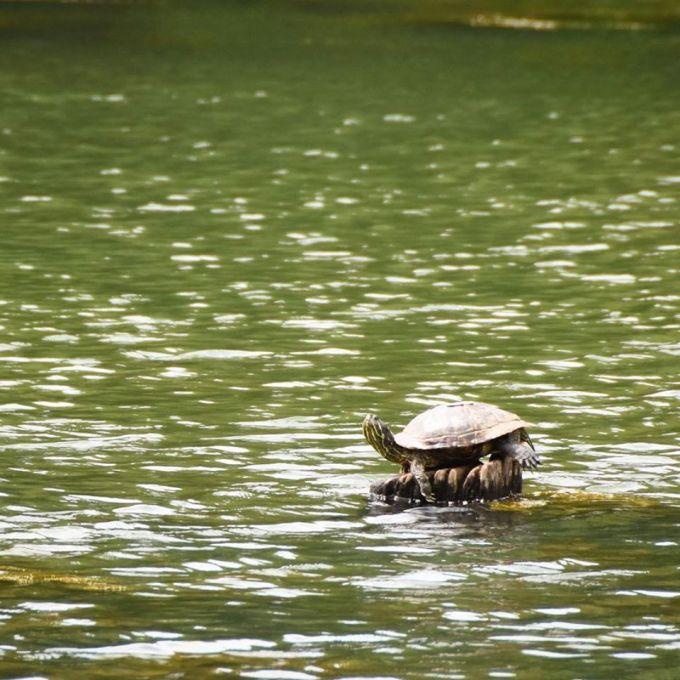 Turtle, Jungle, Singapore, Travel