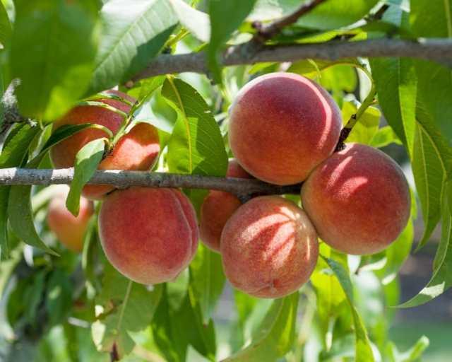 peaches are delicious