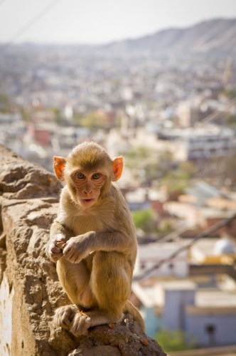 small monkey at Monkey Temple in Jaipur