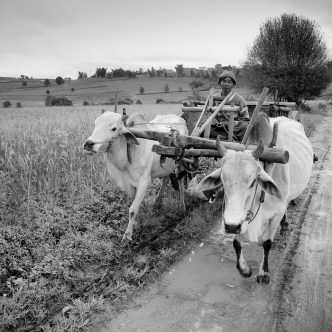 peasant riding an ox-cart in Myanmar