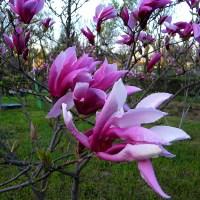 Magnoliile din Parcul Morarilor.  Magnolias in the park Morarilor.