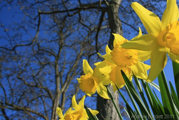 IN THEIR PRIME_Beautiful daffodils line the A4.