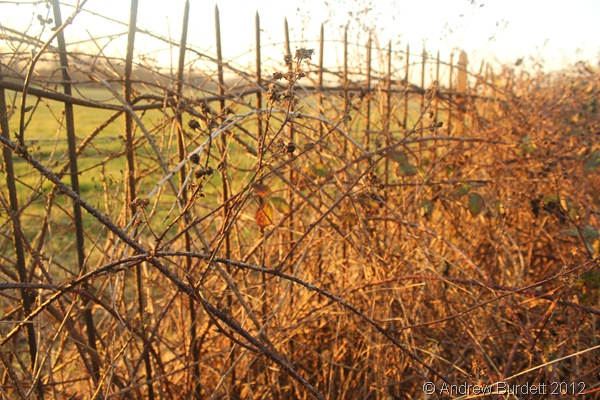 TANGLED BRAMBLE: Brambles growing on the other side of a fence. (IMG_1853)