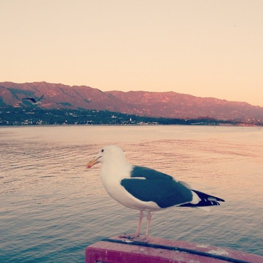 A gull, #SantaBarbara, #California, sunset